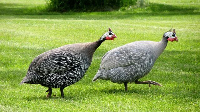 dvě domácí perličky na trávníku